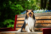 Sheltie dog sitting on a park bench