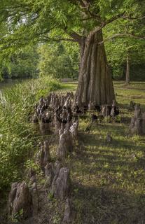 Greizer Park -Sumpfzypresse