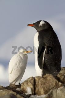 Cattle Egret and Gentoo penguins 1
