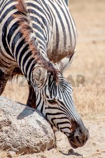 Zebra Scratching his Face