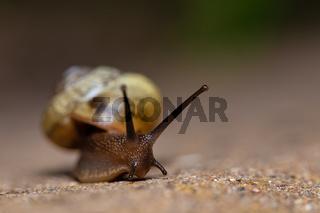 macro of small Garden snail