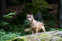 100811-wolf-01.jpg