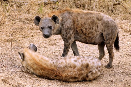 Tüpfelhyänen, Kruger Nationalpark, Südafrica; hyenas, south africa, wildlife, Crocuta crocuta