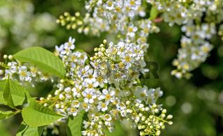 Blüten eines Spierstrauches
