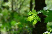 Frühlingsblätter Bergahorn