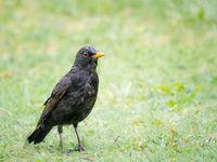 Male blackbird in the rain on a meadow
