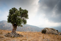 Lonely olive tree and stormy cloudy sky