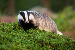 Curious european badger walking in cranberry bushes in summer nature
