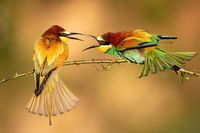 Two european bee-eaters fighting on branch in summer.