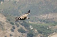 Gaensegeier, Gyps fulvus, Griffon Vulture