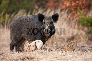 Family of wild boar with adult hairy mother and little piglets grazing in spring
