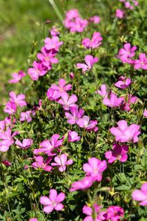 Pink Geranium flowering profusely in a garden in East Grinstead