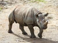 ostafrikanisches Spitzmaulnashorn Nachwuchs Sudan  im Kiwara-Kopje vom ZOO Leipzig