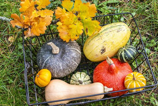 Kürbisse im Korb im Garten, Pumkin and squashes in a basket in garden