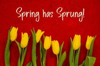 Yellow Tulip Flowers, Red Background, Text Spring Has Sprung