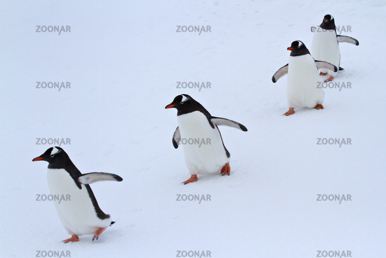 Gentoo penguin group walking in the snow Antarctic islands