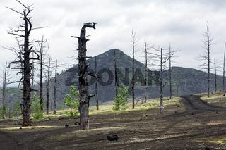 Dead Forest (Dead Wood) on Kamchatka Peninsula