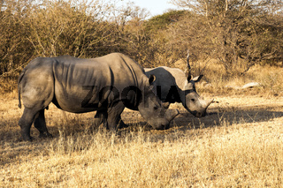 White Rhinos - the less aggresive of the two species.