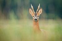 Curious roe deer buck watching on meadow in summer nature.