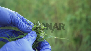 cannabis leafs and narcotic bud being checked by human hand wearing medicinal gloves.