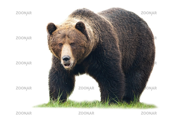 Brown bear standing on green grass and looking into camera isolated on white