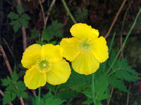 close up of two bright yellow welsh poppy flowers against a dark background