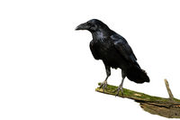 Curious common raven facing camera isolated on white background