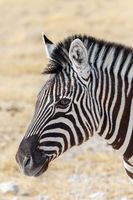 Zebra in african bush