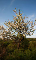blooming tree in spring with blue sky