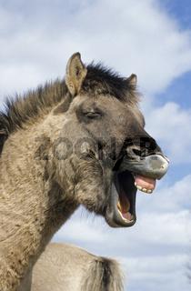 Konik - Hengst wiehernd vor blauem Himmel - (Waldtarpan-Rueckzuechtung) / Heck Horse stallion whinnying in front of blue sky - (Tarpan-breeding back) / Equus ferus caballus - Equus ferus ferus