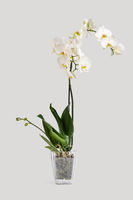 Beautiful and fragrant white phalaenopsis orchid in a pot on a gray background. On one of the stems buds begin to blossom