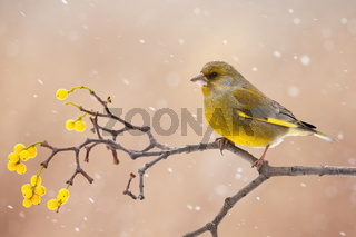 european greenfinch sitting on berries twig in winter.