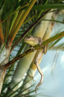 Cuban Tree Frog Osteopilus septentrionalis hangs on an areca palm