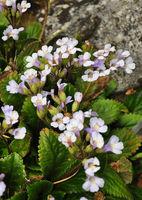 Haberlee (Haberlea rhodopensis) - Orpheus flower (Haberlea rhodopensis)
