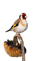 European goldfinch sitting on dry sunflower isolated on white background.
