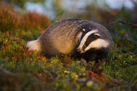 Thoughtful european badger looking for food in moorland at sunrise in summer.