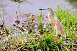 Rallenreiher im Queen Elizabeth Nationalpark, Uganda (Ardeola ralloides) | Squacco Heron at Queen Elizabeth National Park, Uganda (Ardeola ralloides)