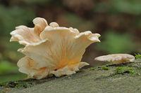 Lungen-Seitling (Pleurotus pulmonarius)