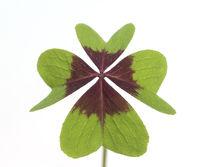 Gluecksklee, Oxalis tetraphylla, Vierblaettriger, Sauerklee