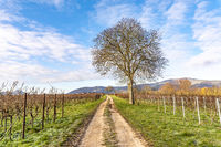 Kahler Nussbaum steht an einem Weg zwischen Weinreben im Winter vor blauem wolkigem Himmel