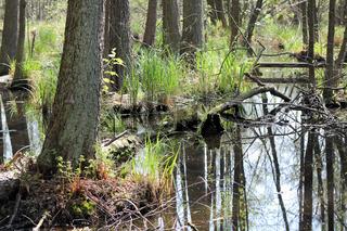 Erlenbruchwald im Briesetal nördlich von Berlin