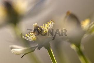 Sumpfherzblatt / Parnassia palustris