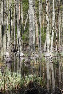 Erlenbruchwald im Briesetal nördlich von Berlin im Vorfrühling