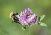Langhornbiene bei der Pollensuche auf einer Wildklee-Blüte