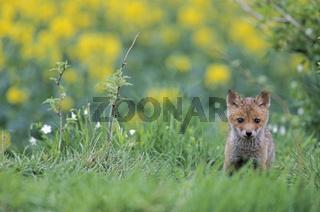 Jungfuchs aeugt aufmerksam zum Fotografen - (Rotfuchs - Fuchs) / Red Fox kit looking intently towards to the photographer - (European Red Fox) / Vulpes vulpes