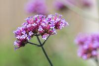Purple Verbana Bonariensis flower at shallow depth background