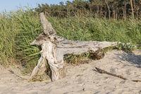 Alter Baumstamm liegt an einem Sandstrand mit Dünen, Wald und bewölktem Himmel