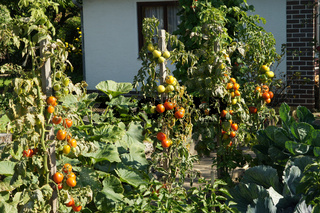 Solanum esculentum, Syn. Lycopersicum, Tomate