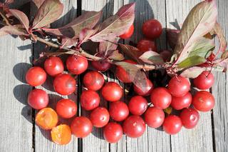 Prunus cerasifera Nigra, Blutpflaume