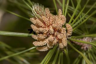 Kiefernblüte 'Pinus spec.'